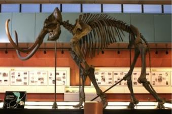 Restored mammoth skeleto