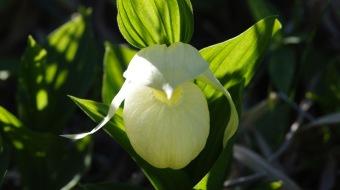 Rebun lady's slipper orchid (Cypripedium macranthum var. rebunense)