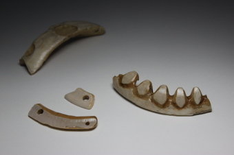 Boar tusk ornaments excavated at the Irie-Takasago Shell Midden in Toyako Town