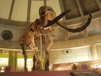 Restored Naumann elephant skeleton model